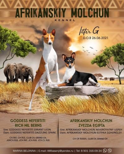 Африканский молчун - питомник собак породы басенджи - Щенки (продажа и бронирование)