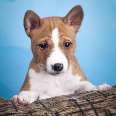 Собаки и щенки породы Басенджи - купить в Санкт-Петербурге из питомников и частные объявления о продаже щенков на КупиПродай