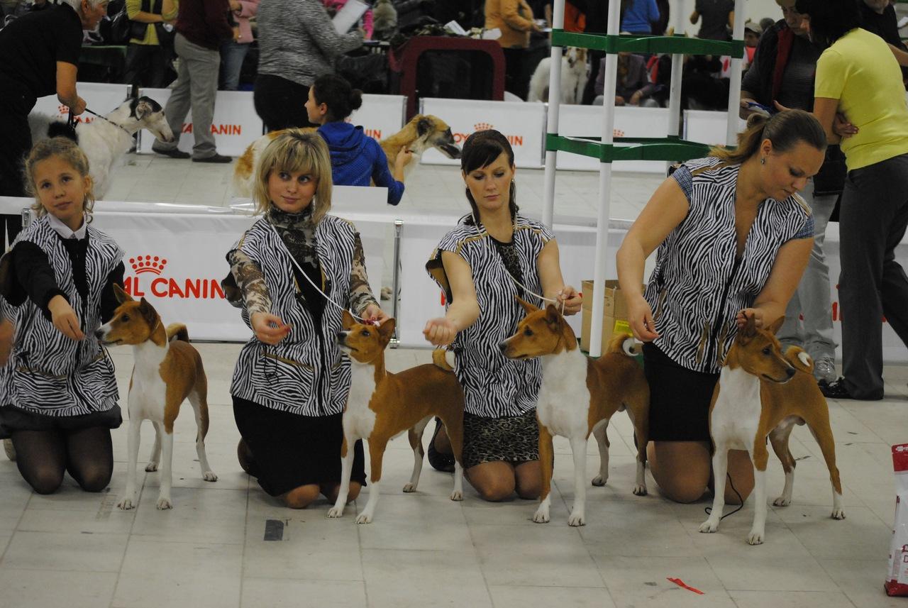 Африканский молчун - питомник собак породы басенджи - Выставки